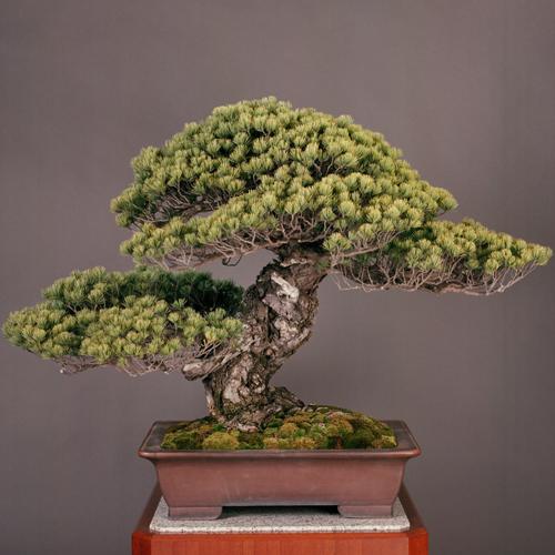 """בונסאי """"מלכותי"""" בן 550 שנים מאוסף קיסר יפן"""