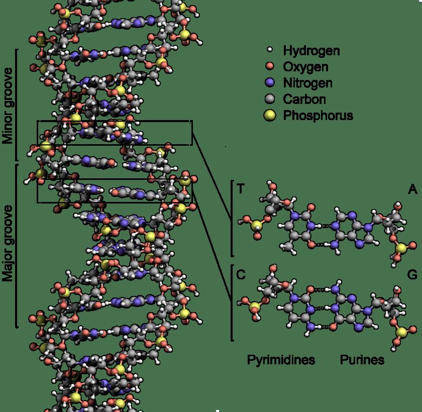 כן, ההתניה הנכפית יוצרת את השפה עוד הרבה בטרם אנחנו לומדים לעשות בה שימוש: DNA