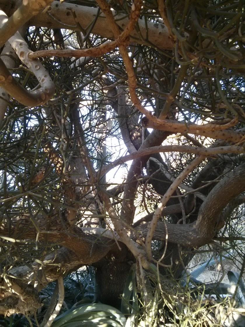 עץ סוקולנט - חלבלוב רותמי במושב כוכב מיכאל