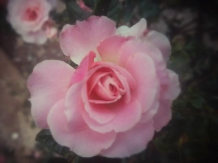 ורד אלמוני