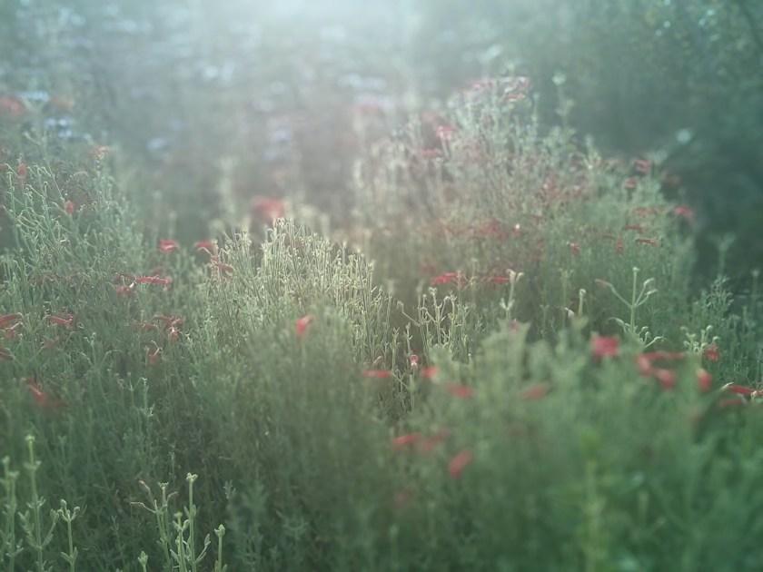 גלווזיה סמרית פורחת באדום דליל וברגע מרווה קליבלנד בשלהי פריחתה