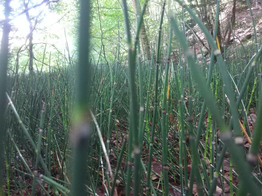 מושבות מדהימות של שבטבט חורפי. להיזהר מאוד בהכנסה לגינה, צמח שנשאר בעידן הקולניאליזם