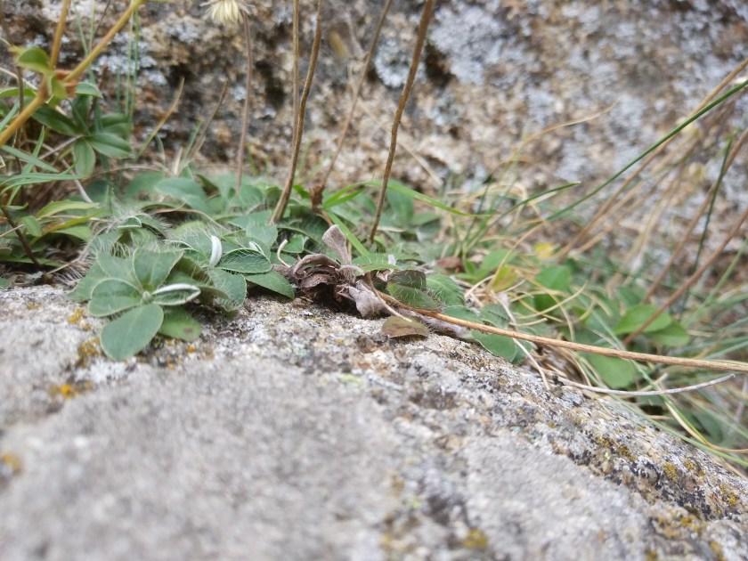 היריציום פילוסלה בטבע בצרפת