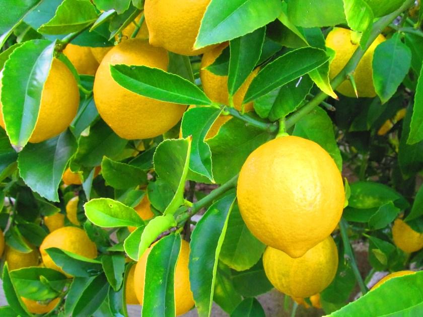 המקרא, גתה, תרבות של אלפי שנים לא יצליחו לגרום לו לשתות פחות. לימון, ים תיכוני בכיפוף הזרוע.