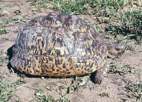 Geochelone pardalis tortue leopard Testudo hermanni tortue dHermann