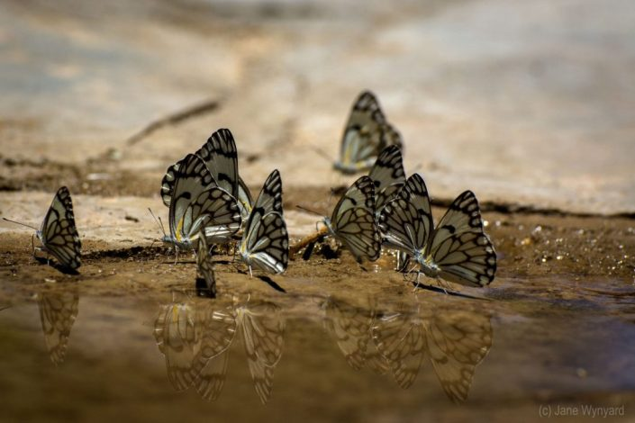 butterflies in namibia