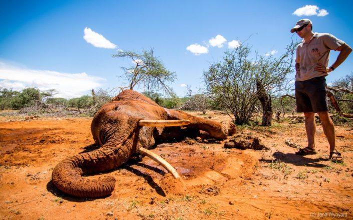 dying elephant