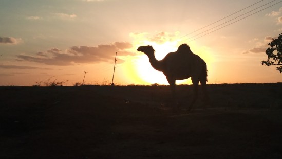 Camel in the sunset - picture shot in the outskirts of Garissa