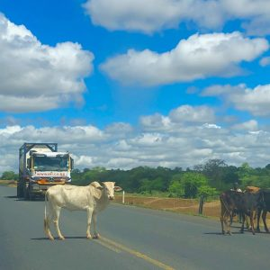 Makueni A109 - Cows on the highway
