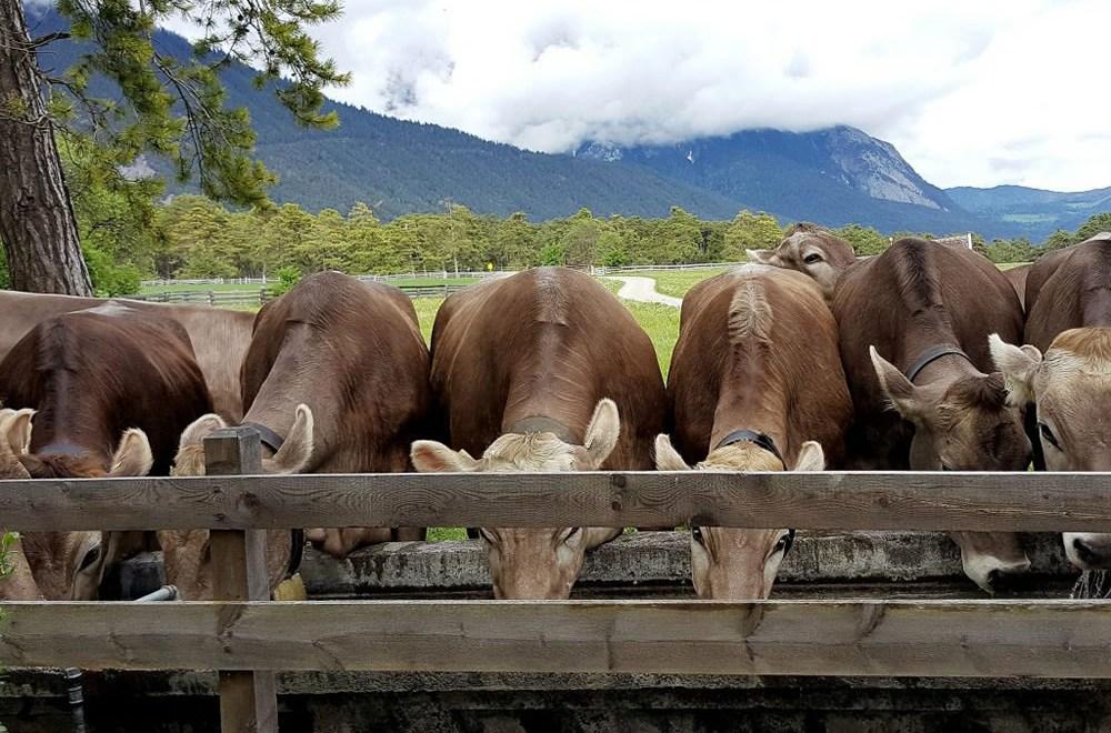 Der Almsommer rückt in greifbare Nähe - Das erste Vieh ist am Kälberhag angekommen, Foto: Knut Kuckel
