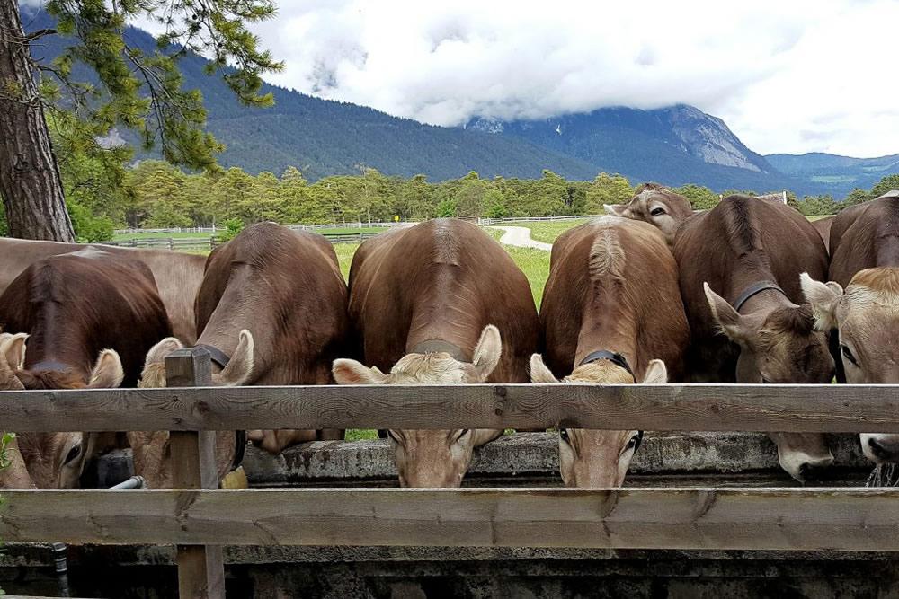 Der Almsommer rückt in greifbare Nähe - Das erste Vieh ist am Kälberhag angekommen, Foto: Knut Kuckel/Waldbauern.at
