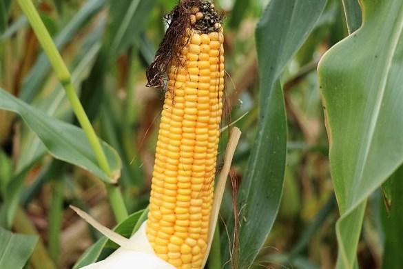 """Der Mais wird geerntet - """"So gut war der noch nie"""", Foto: Knut Kuckel"""