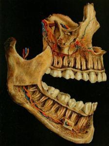 Tooth artery, vein, nerve