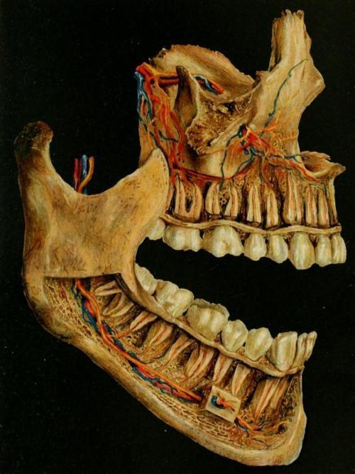 Tooth Anatomy Tooth Nerve