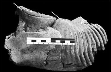 mammoth tooth abfraction