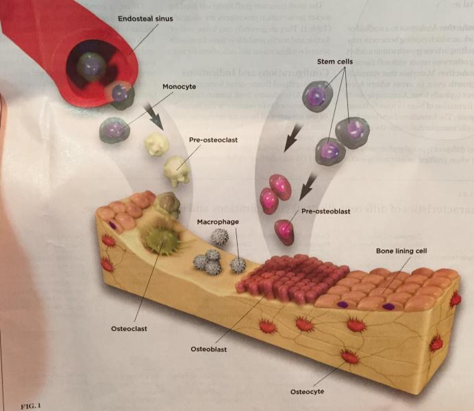 bone formation around dental implant