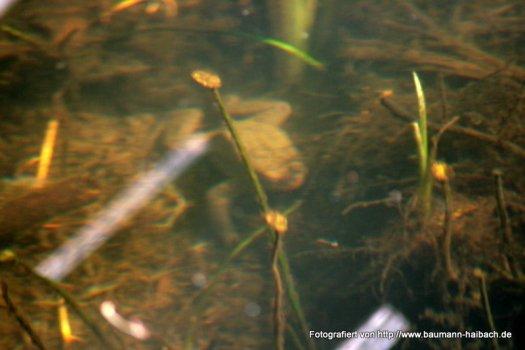 Kroete unter Wasser