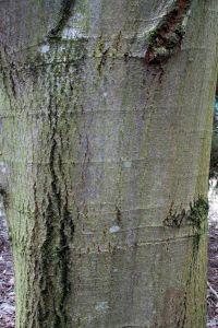 SilberLinde Details  Baumbestimmung Laubhlzer bestimmen Tilia tomentosa