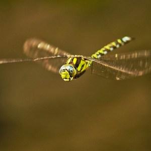 männliches Tier im Schwebflug