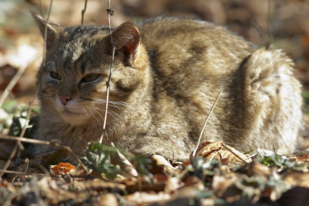 weibliche Wildkatze (Felis silvestris), Nationalpark Bayerischer Wald (05. März 2011; 12:19 Uhr)