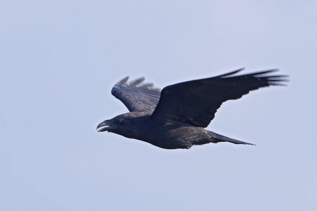 Rabenkrähe (Corvus corone), Naturschutzgebiet Ilkerbruch (25. April 2011)