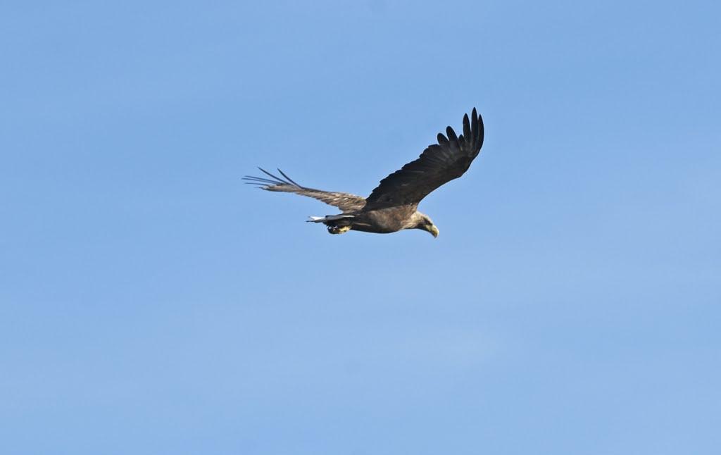 Seeadler Naturschutzgebiet Barnbruch