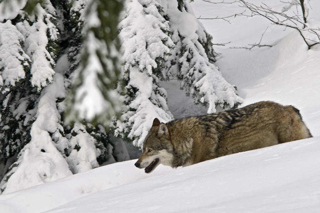 Wölfe im Nationalpark Bayerischer Wald