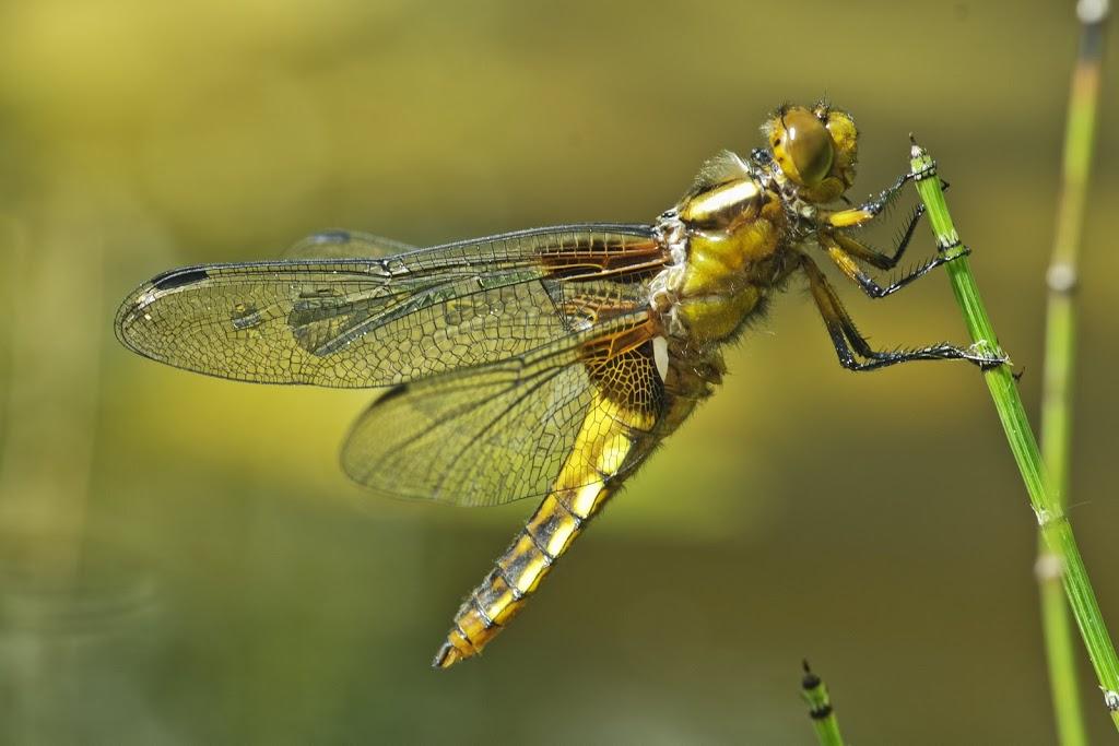 weibliche Plattbauch-Libelle (Libellula depressa)
