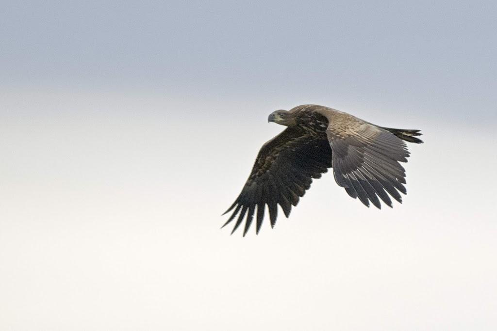 junger Seeadler (Haliaeetus albicilla) im Überflug