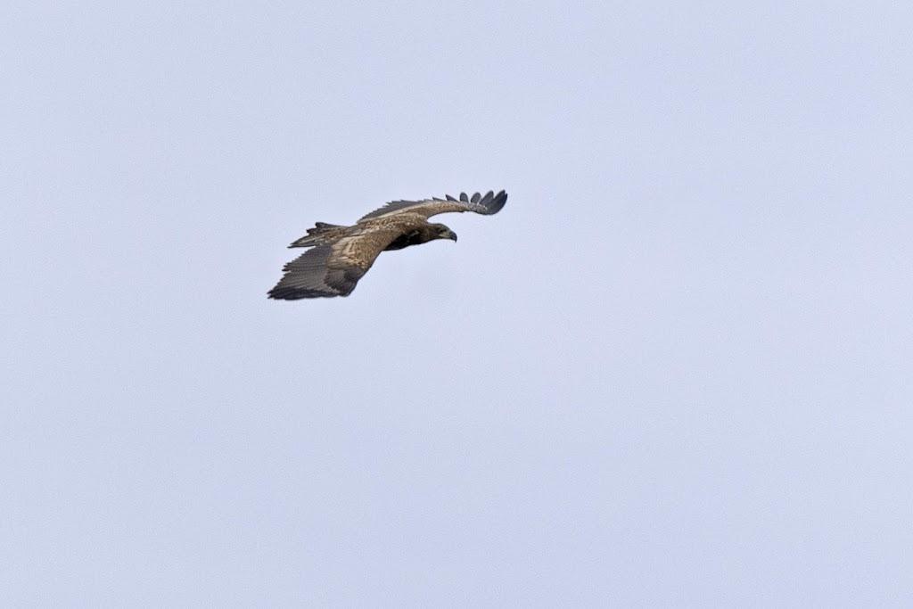 Seeadler im Naturschutzgebiet Barnbruch
