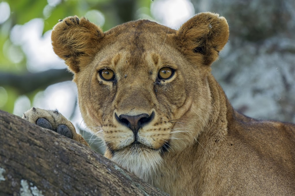 weiblicher Massai-Löwe (Panthera leo massaicus)