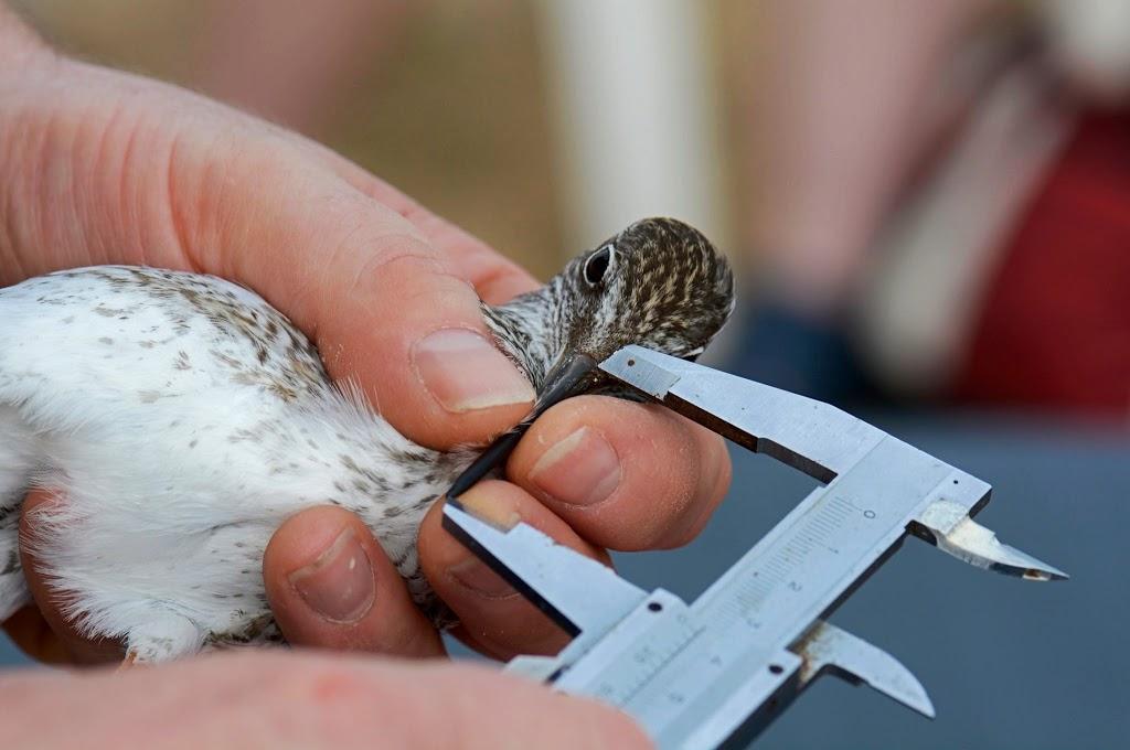 Beringung von Wildvögel
