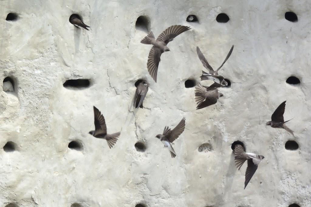 Uferschwalben im Anflug auf eine künstliche Brutwand