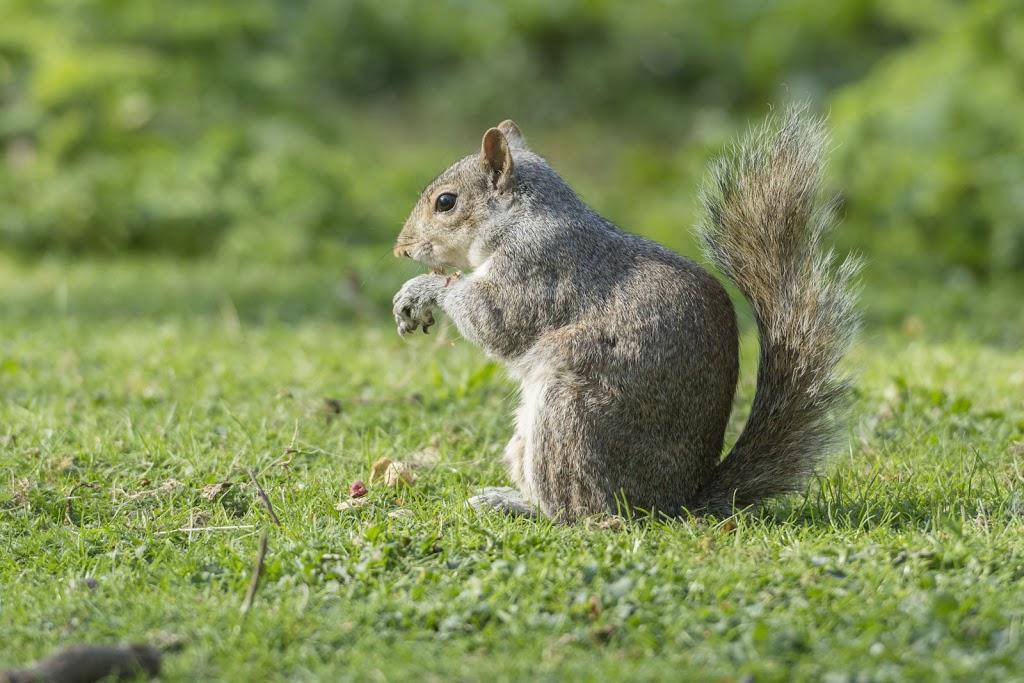 Allgegenwärtig und unübersehbar: das London-Eichhörnchen....