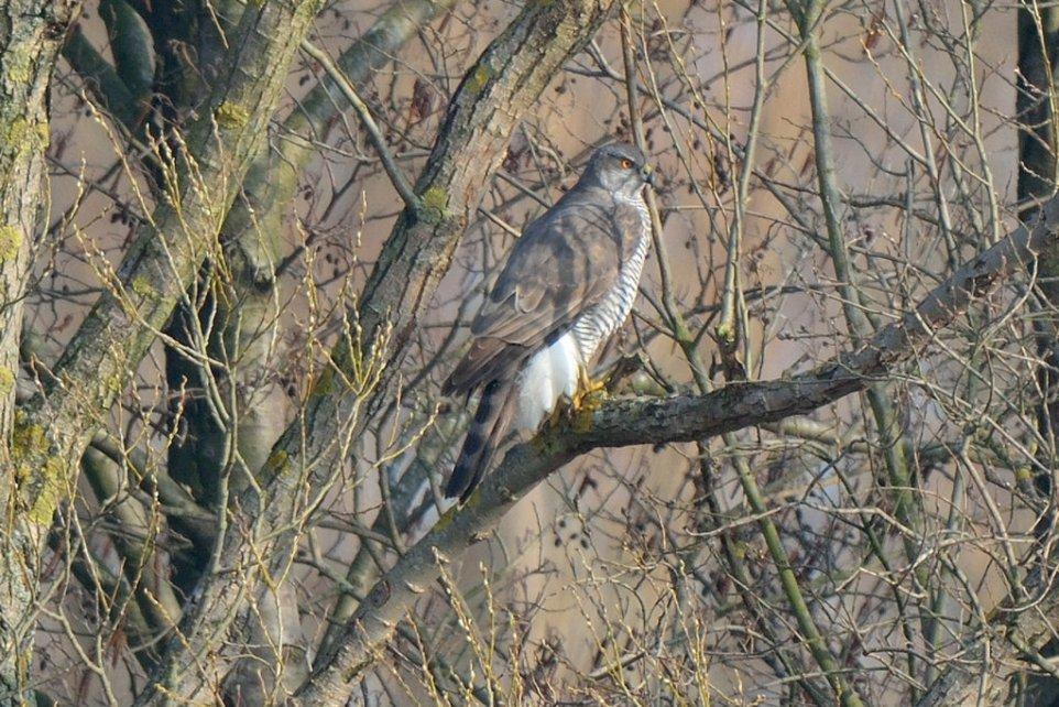 Vogel des Jahres 2015 - Der Habicht (Accipter gentilis)