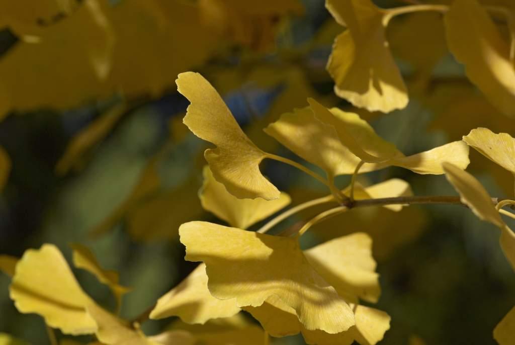 Ginko-Blätter im Herbst