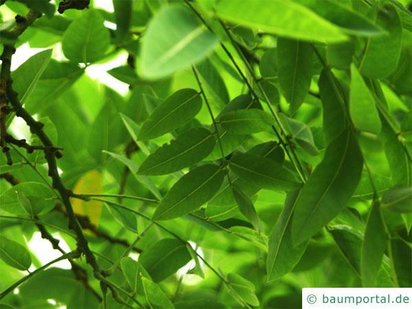 Schnurbaum  Styphnolobium japonicum