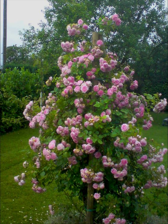 Kletterrose Jasmina   Finde Deine neue Rose  Online