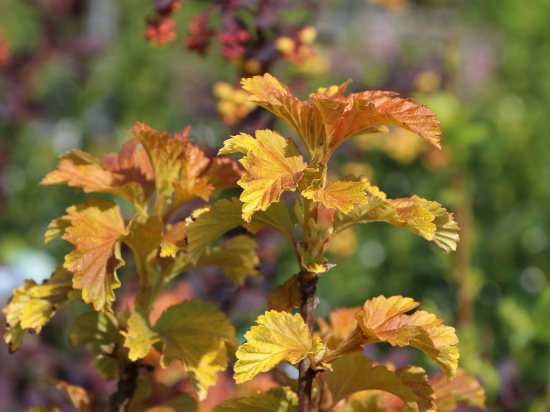Blasenspiere Amber Jubilee   Physocarpus opulifolius Amber Jubilee   Baumschule Horstmann