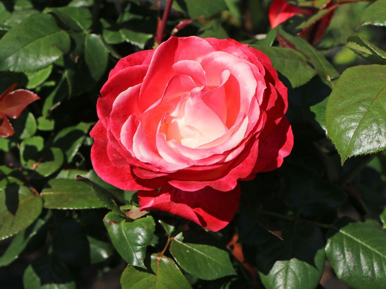 Rosen Bilder Leinwand