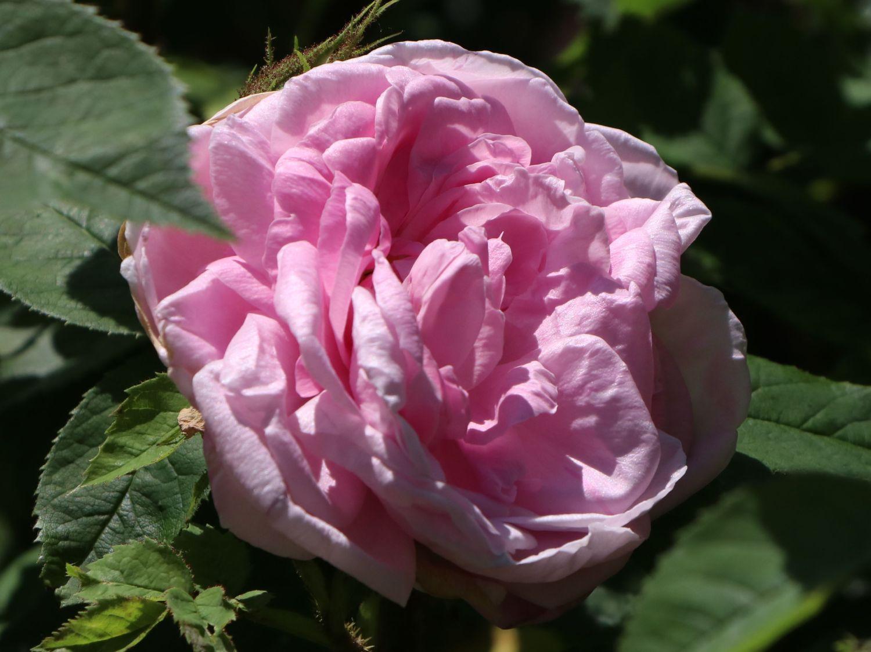 Englische Rose Wife Of Bath