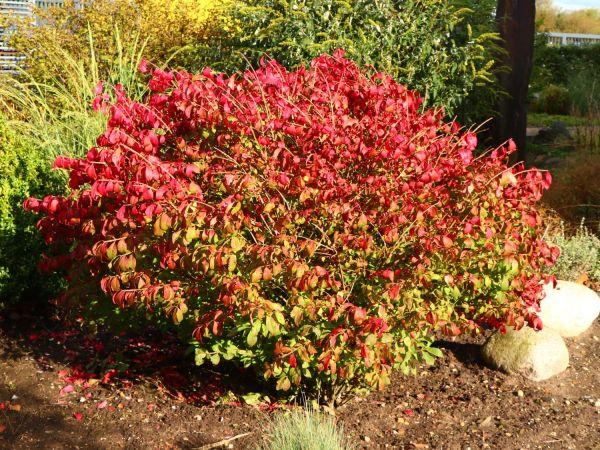 burning bush kaufen # 2