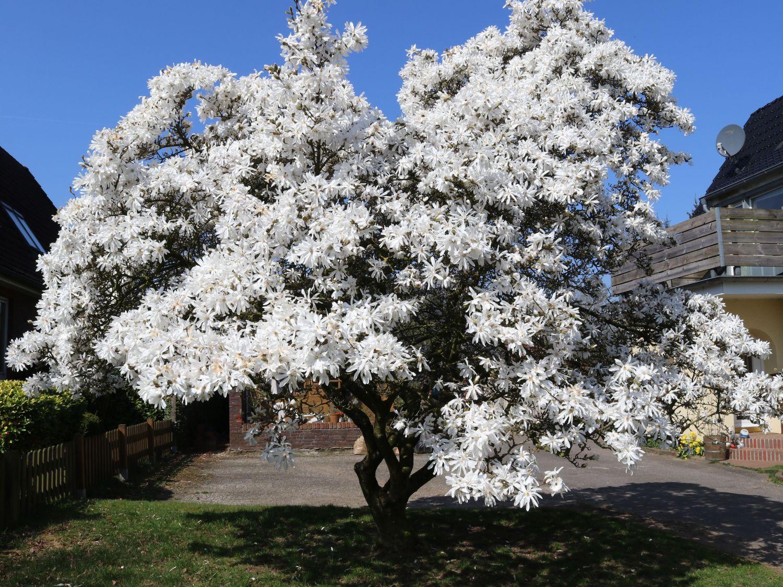 Sternmagnolie  Magnolia stellata  Baumschule Horstmann