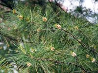 Weymouths-Kiefer / Strobe / Eastern White Pine - Pinus ...