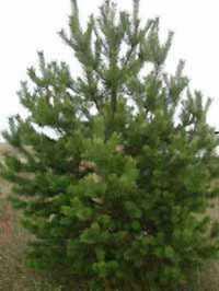 Pinus sylvestris / Gewhnliche Kiefer / Fhre / Wald