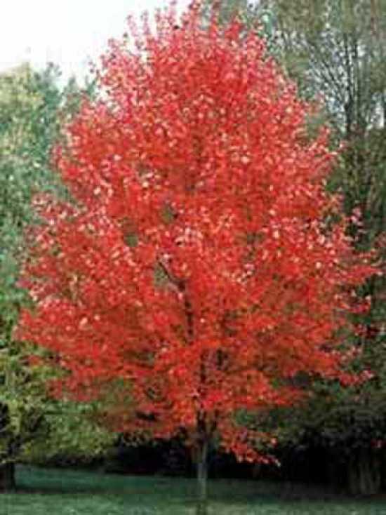 Acer freemanii Autumn Blaze  RotAhorn Autumn Blaze