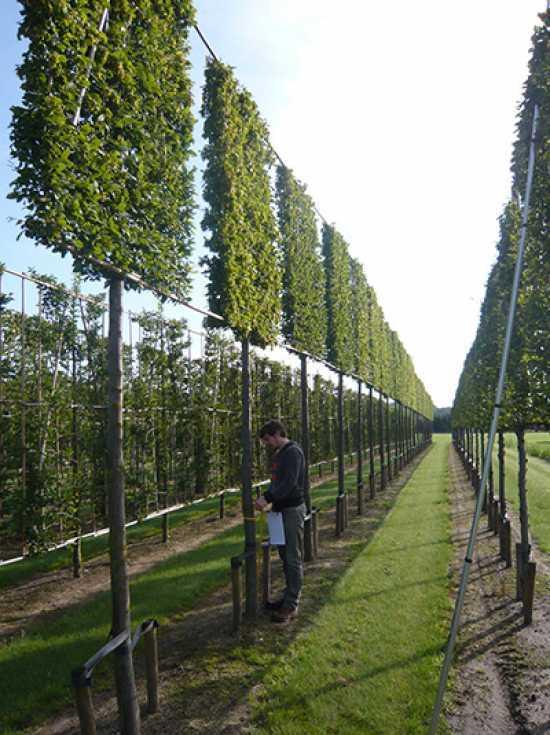 Carpinus betulus  Hainbuche  Weibuche HochstammSpalier H250 B180 T20 Stamm 270 cm