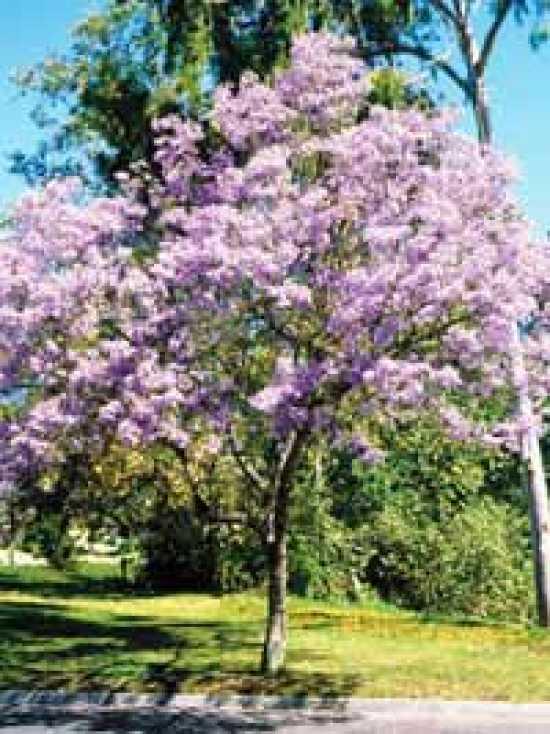 Paulownia tomentosa  Blauglockenbaum  Paulownie gnstig kaufen