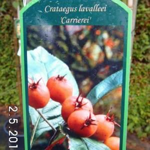 apfeldorn-carrierei-frucht