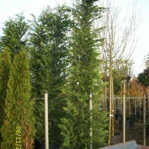baumzypresse-castlewellan-gold-300cm